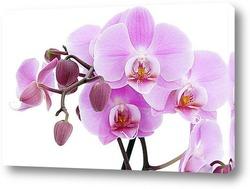 Постер Орхидея Фаленопсис